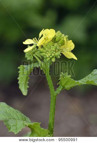 Black Mustard