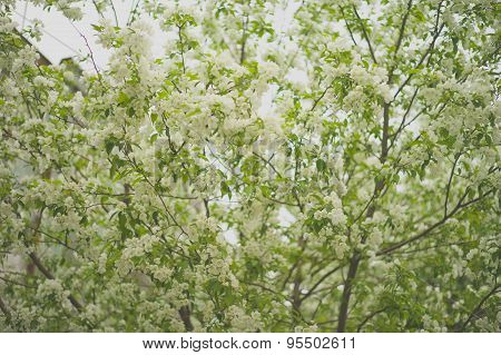 Tree Brunch With White Spring Blossoms