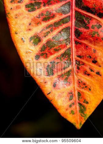 Orange And Red Leaf