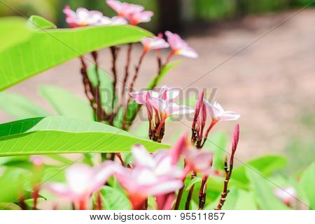 Flowers Of Plumeria