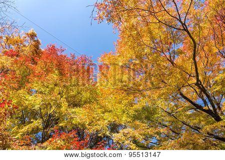 Autumn maple forest