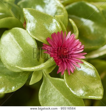 Flower Of Aptenia Cordifolia