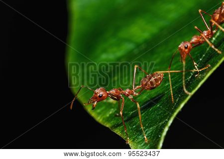 Red Ant On A Leaves