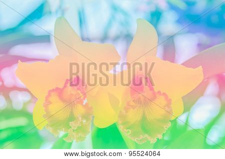 Natural Sweet Color Orchid In Soft Color And Blur Style, Cattleya Orchid
