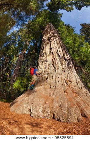 Man climbs on big tree in Redwood California