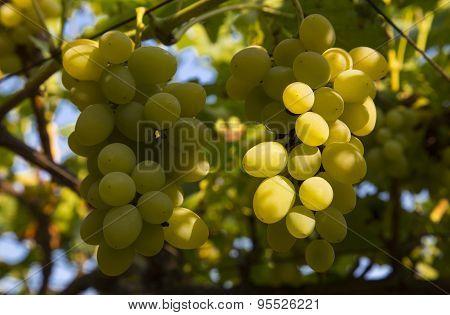 Ripe grapes closeup
