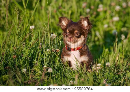 small adorable chihuahua puppy outdoors in summer