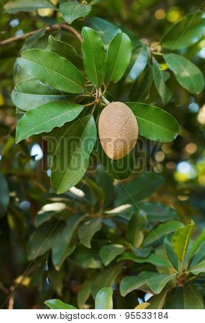 Fruit (ellipsoid Berry) Of Manilkara Zapota, Sapodilla