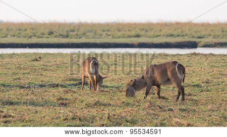 Water antelopes in Chobe National Park, Botswana