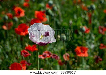 White Opium Poppy