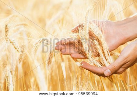 Male hands care about wheat