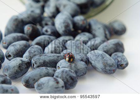 Berries Of Honeysuckle
