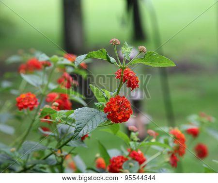 Latana Flowers