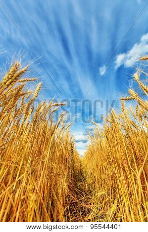 Wheat Ears And Sky