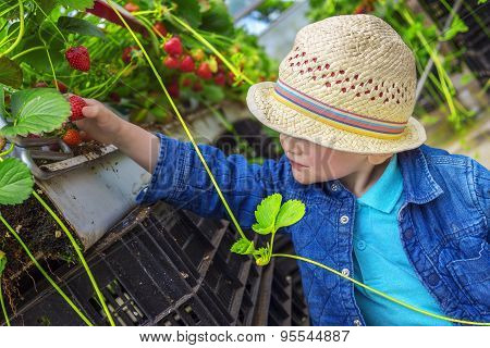 Little Child Picking Strawberries