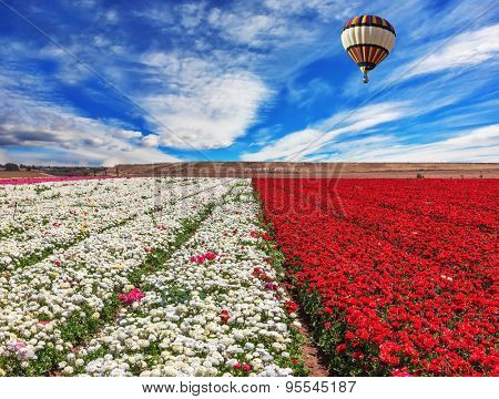 Spring windy day. Field of blooming red and white buttercups ranunculus. Huge balloon flies over a field