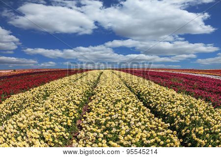 Large field of yellow and red flowers. Windy day on the farm on cultivation of buttercups- ranunculus garden.