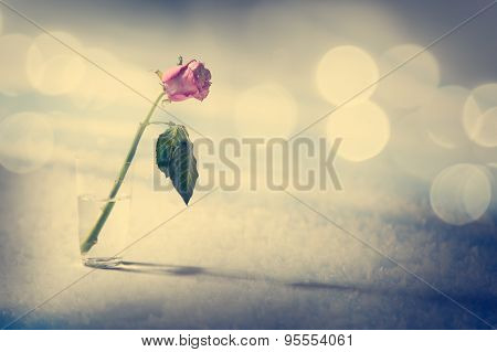 Dying Rose on the Snow Background