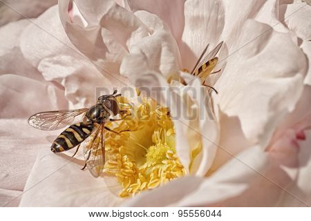 Hoverfly on Pink Rose