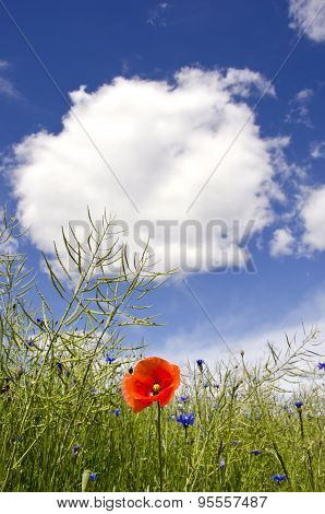 Red Poppy In Rapeseed Plants After Blossoming