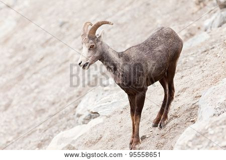 Young Stone Sheep Ram Ovis Dalli Stonei