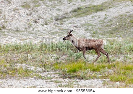 Caribou Rangifer Tarandus Roaming Northern Tundra