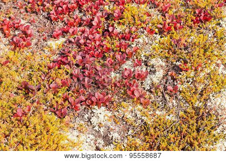 Red Bearberry Arctous Rubra Shiny Fall Leaves