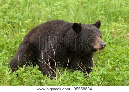 Green Meadow American Black Bear Resting