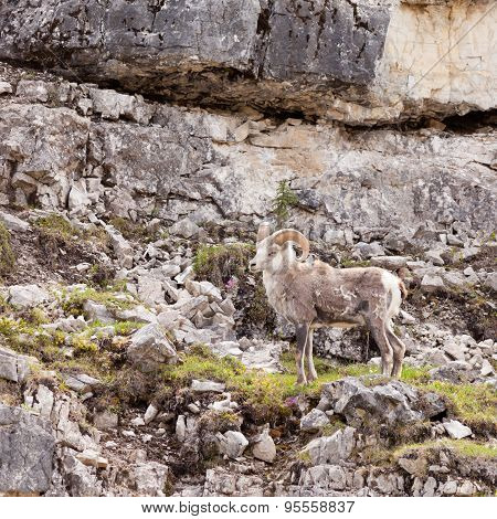 Thinhorn Sheep Ram Ovis Dalli Stonei Climbing Rock Wall