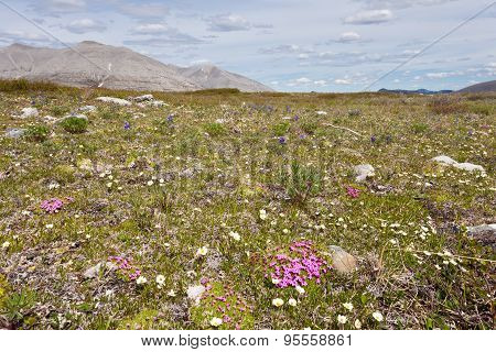 Blooming Alpine Tundra Meadow Wildflowers