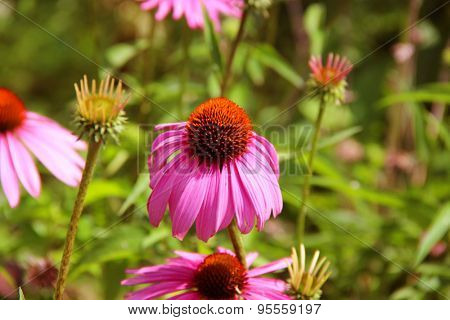 Coneflower with green background