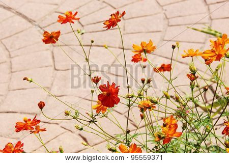 Garden flowers orange Cosmea