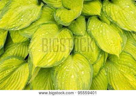 Yellow Wet Hosta Leaves Background