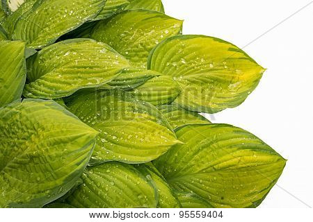Hosta Leaves Isolated On White Background
