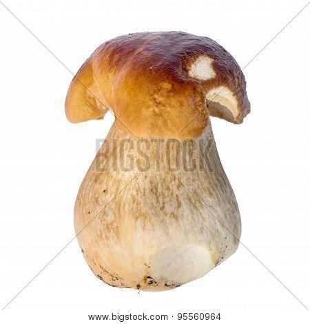 Boletus Edulis Mushroom Isolated On White Background Close Up