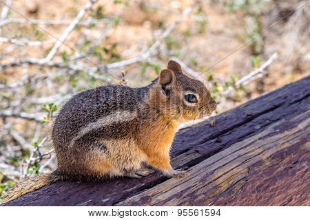 Chipmunk In The Bryce Canyon