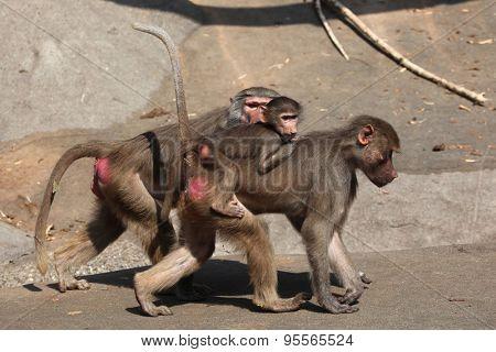 Female Hamadryas baboon (Papio hamadryas) with a baby on its back. Wild life animal.