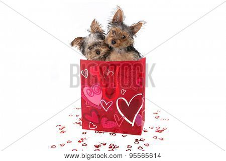 Adorable Yorkshire Terrier Puppies in a Valentine Themed Bag