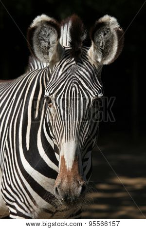 Grevy's zebra (Equus grevyi), also known as the imperial zebra. Wild life animal.