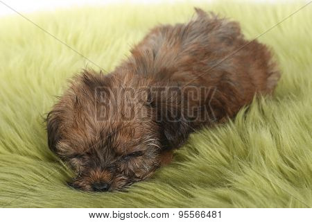 Adorable Teacup Yorkshire Terrier on White Background
