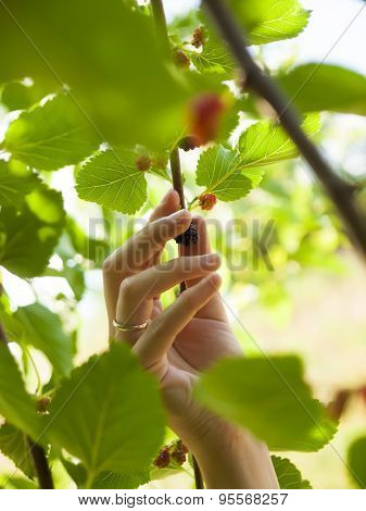 Hand plucks the fruit of the mulberry.