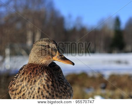 Close up on a female mallard, common duck.
