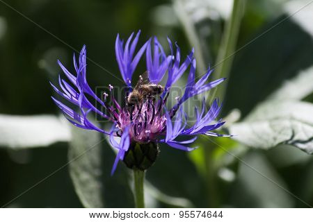 Blue Cornflowers In Spring Flower Garden