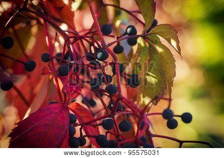 Wild grape berry