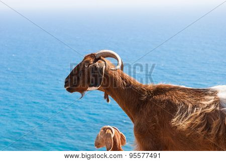 Goats Resting On A Rock By The Coast In Cyprus. Petra Tou Romiou.