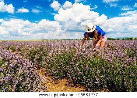 Beautiful  woman harvesting lavender on field