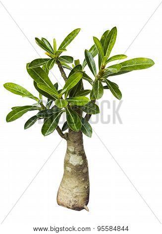 Desert Rose Tree