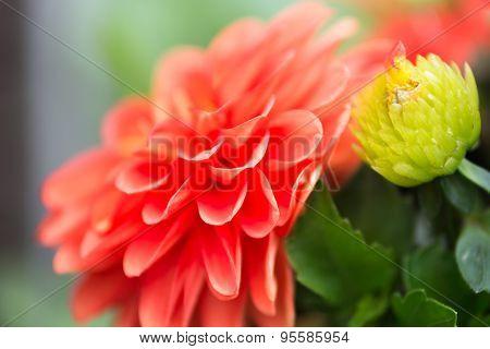 Vibrant Red Dahlia Flower