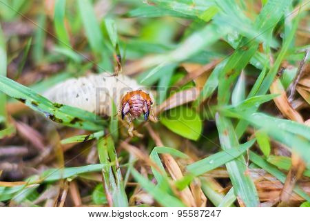 Close up white grub of cockchafer on green grass