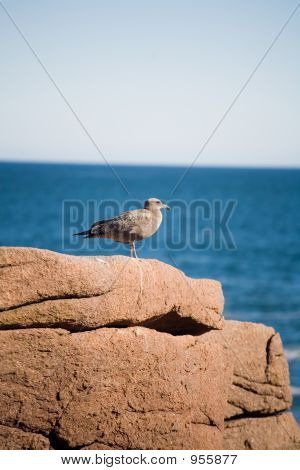Seagull Resting On Rock By The Ocean 067